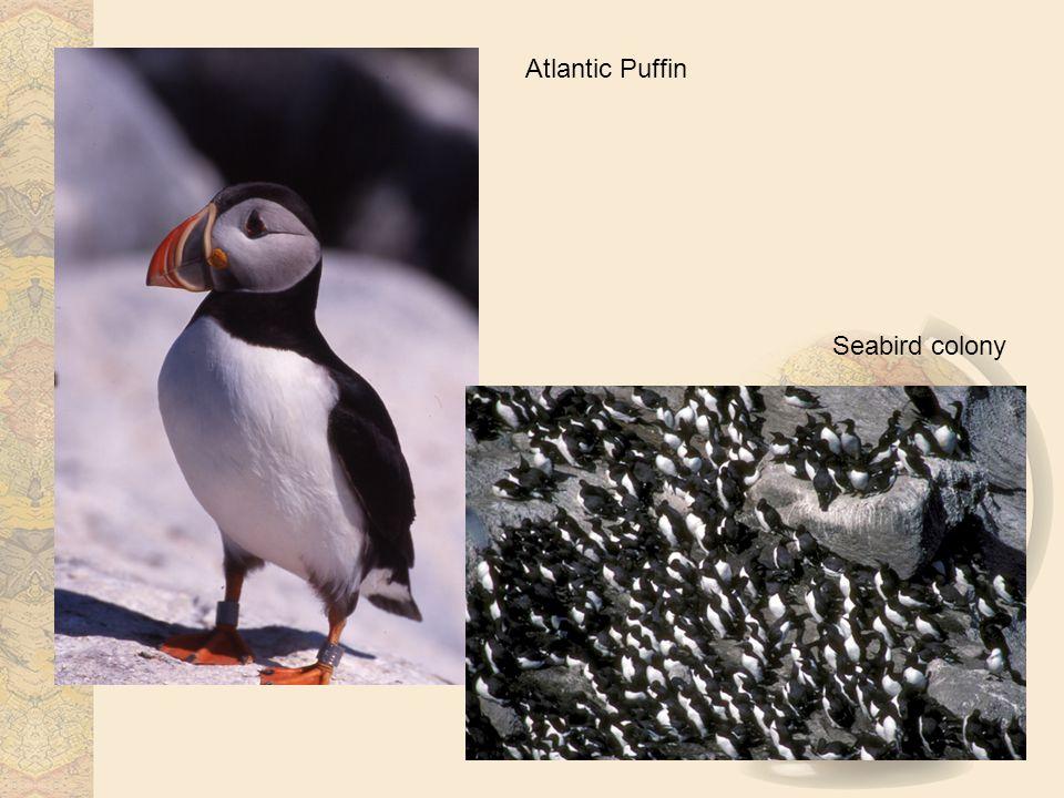 Atlantic Puffin Seabird colony