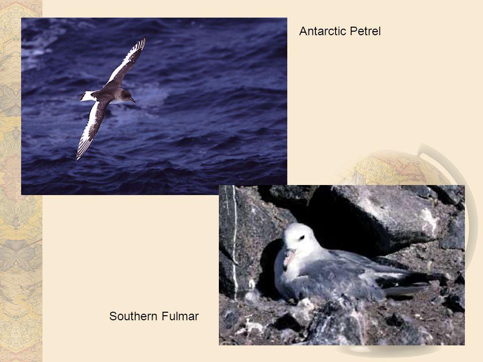 Antarctic Petrel Southern Fulmar