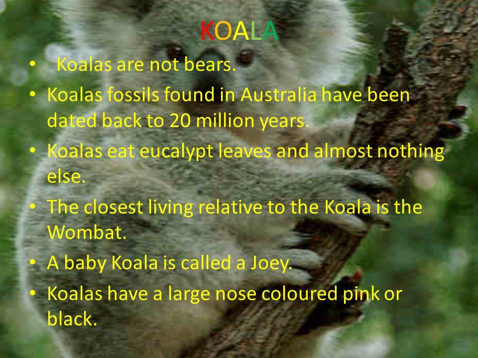 KOALAKOALA Koalas are not bears.