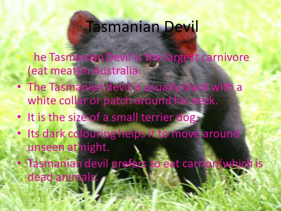 Tasmanian Devil The Tasmanian Devil is the largest carnivore (eat meat)in Australia.