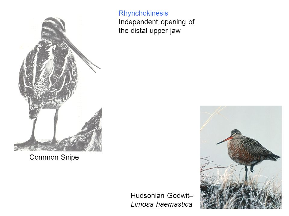 Hudsonian Godwit– Limosa haemastica Common Snipe Rhynchokinesis Independent opening of the distal upper jaw
