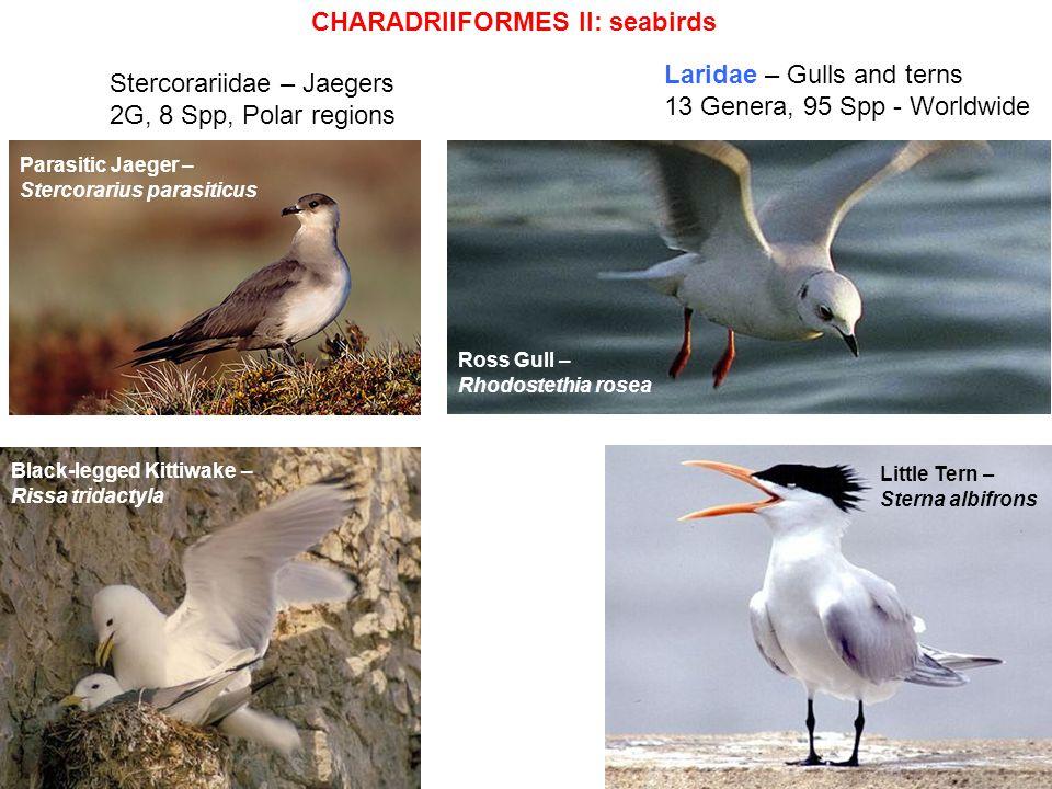 Laridae – Gulls and terns 13 Genera, 95 Spp - Worldwide Ross Gull – Rhodostethia rosea Black-legged Kittiwake – Rissa tridactyla Little Tern – Sterna