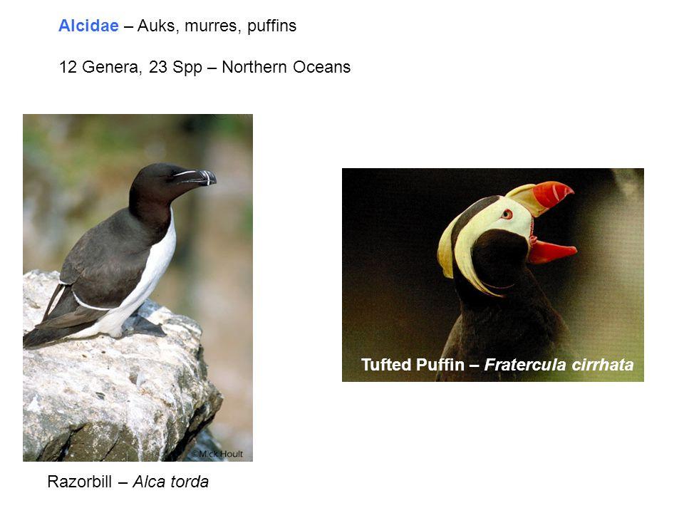 Alcidae – Auks, murres, puffins 12 Genera, 23 Spp – Northern Oceans Tufted Puffin – Fratercula cirrhata Razorbill – Alca torda