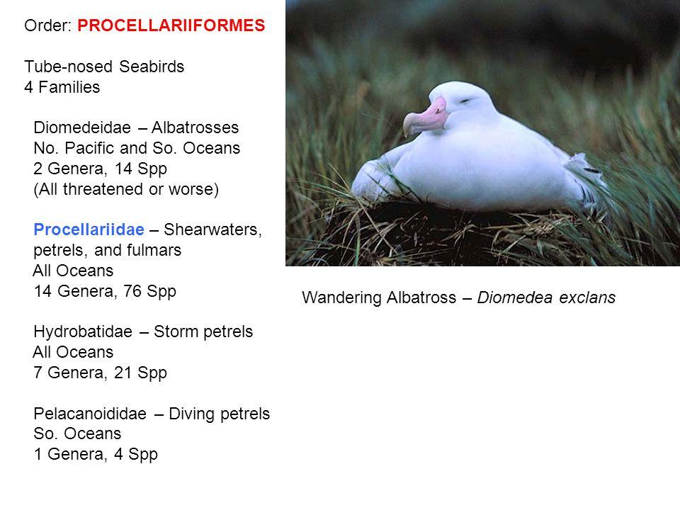 Order: PROCELLARIIFORMES Tube-nosed Seabirds 4 Families Diomedeidae – Albatrosses No.