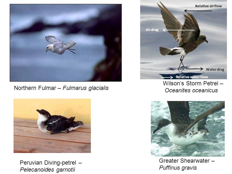 Wilson's Storm Petrel – Oceanites oceanicus Peruvian Diving-petrel – Pelecanoides garnotii Greater Shearwater – Puffinus gravis Northern Fulmar – Fulmarus glacialis