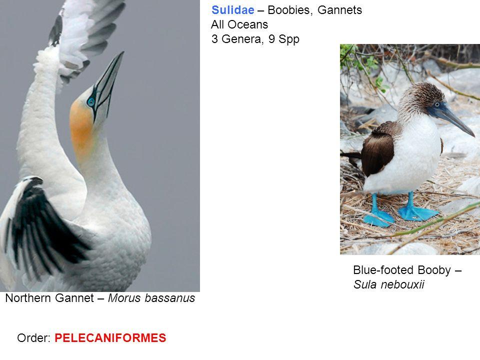 Sulidae – Boobies, Gannets All Oceans 3 Genera, 9 Spp Blue-footed Booby – Sula nebouxii Northern Gannet – Morus bassanus Order: PELECANIFORMES