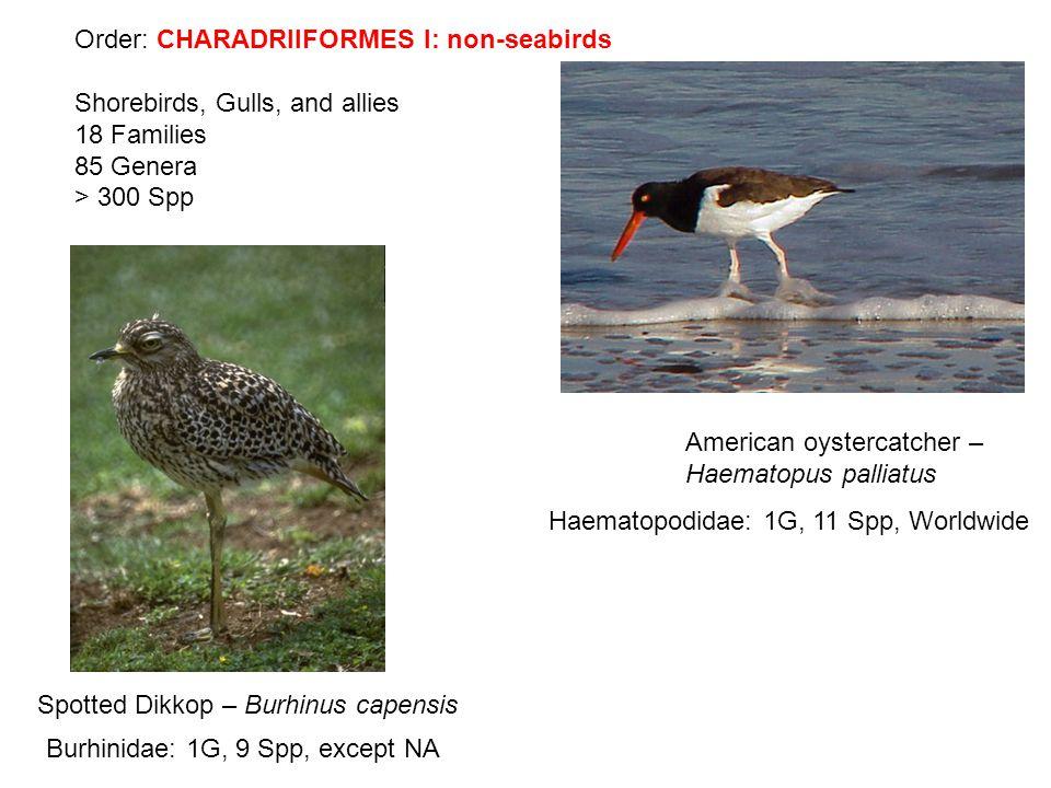 Order: CHARADRIIFORMES I: non-seabirds Shorebirds, Gulls, and allies 18 Families 85 Genera > 300 Spp American oystercatcher – Haematopus palliatus Spotted Dikkop – Burhinus capensis Haematopodidae: 1G, 11 Spp, Worldwide Burhinidae: 1G, 9 Spp, except NA