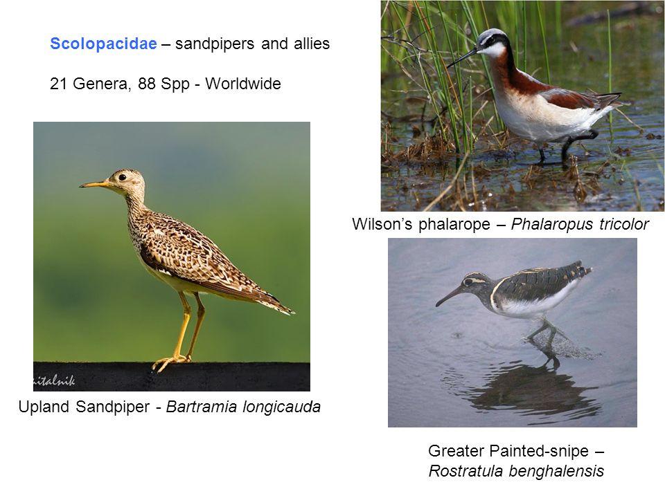 Scolopacidae – sandpipers and allies 21 Genera, 88 Spp - Worldwide Wilson's phalarope – Phalaropus tricolor Greater Painted-snipe – Rostratula benghalensis Upland Sandpiper - Bartramia longicauda