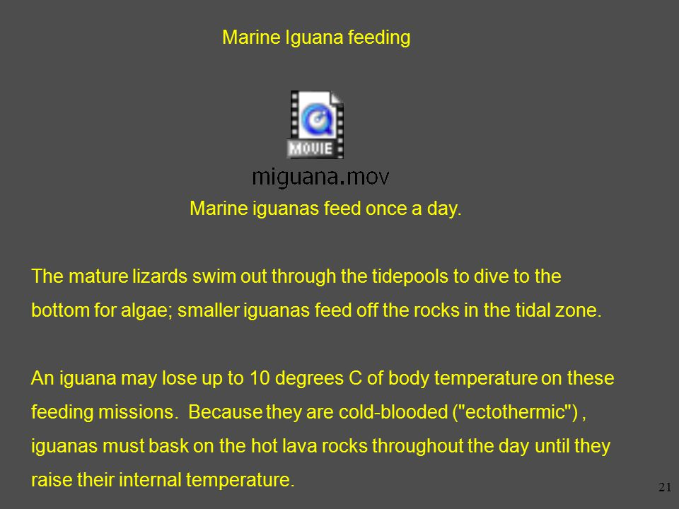 20 Marine Iguanas