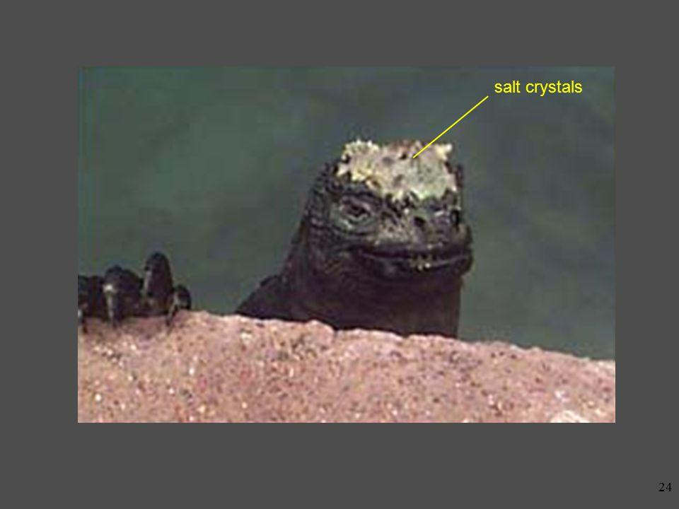 23 Marine Iguana The fight against salt at Punta Espinoza: marine iguanas cormorants sea lions