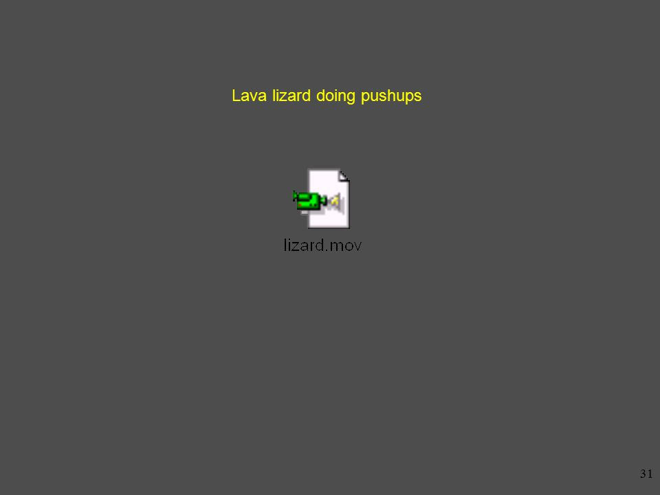 30 Land iguana (Conolophus sp)
