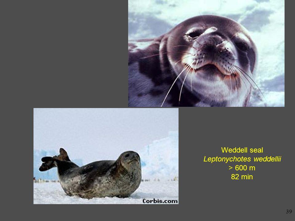 38 Elephant seal Mirounga leonina 1600 m 120 min typical: 20-30 min, 200-800 m
