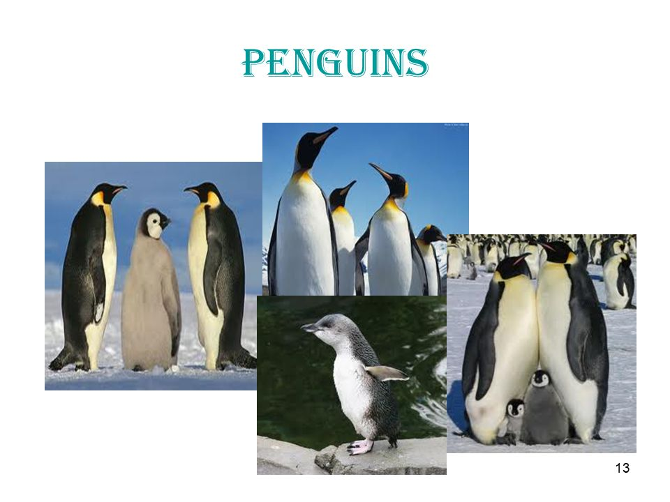13 penguins