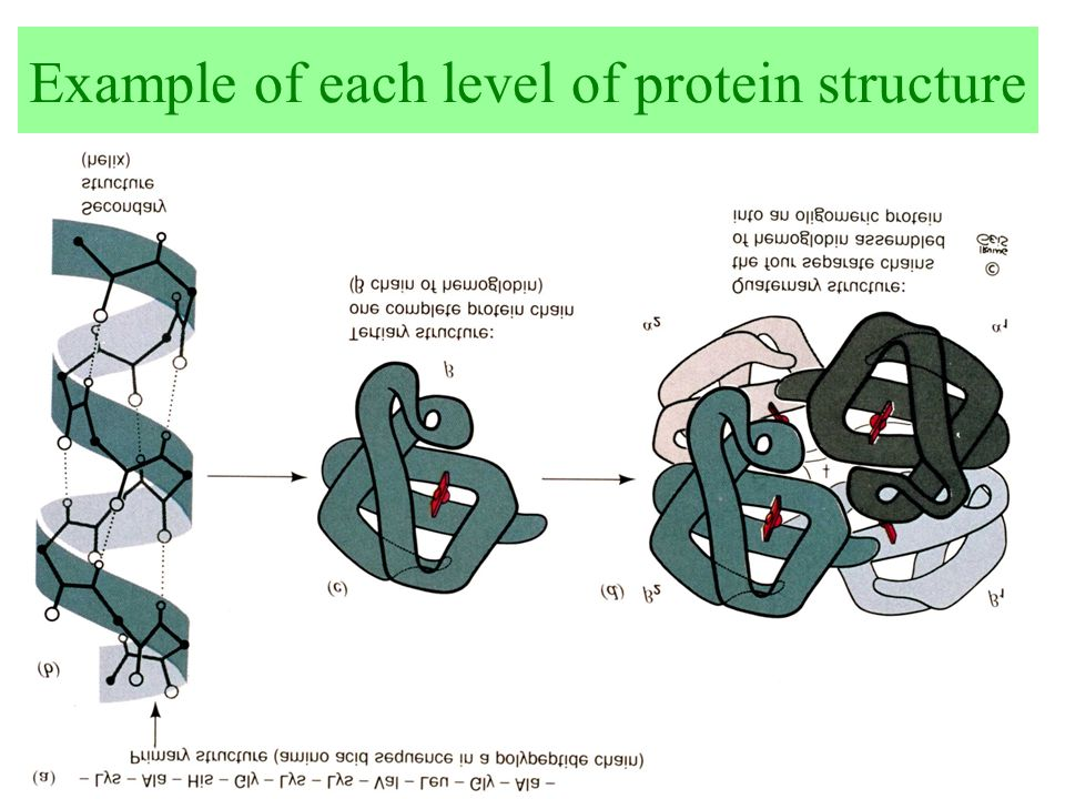 Example of each level of protein structure