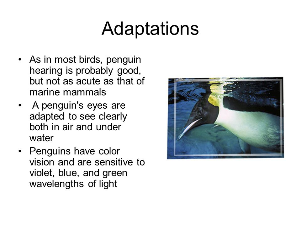 Adaptations As in most birds, penguin hearing is probably good, but not as acute as that of marine mammals A penguin s eyes are adapted to see clearly both in air and under water Penguins have color vision and are sensitive to violet, blue, and green wavelengths of light