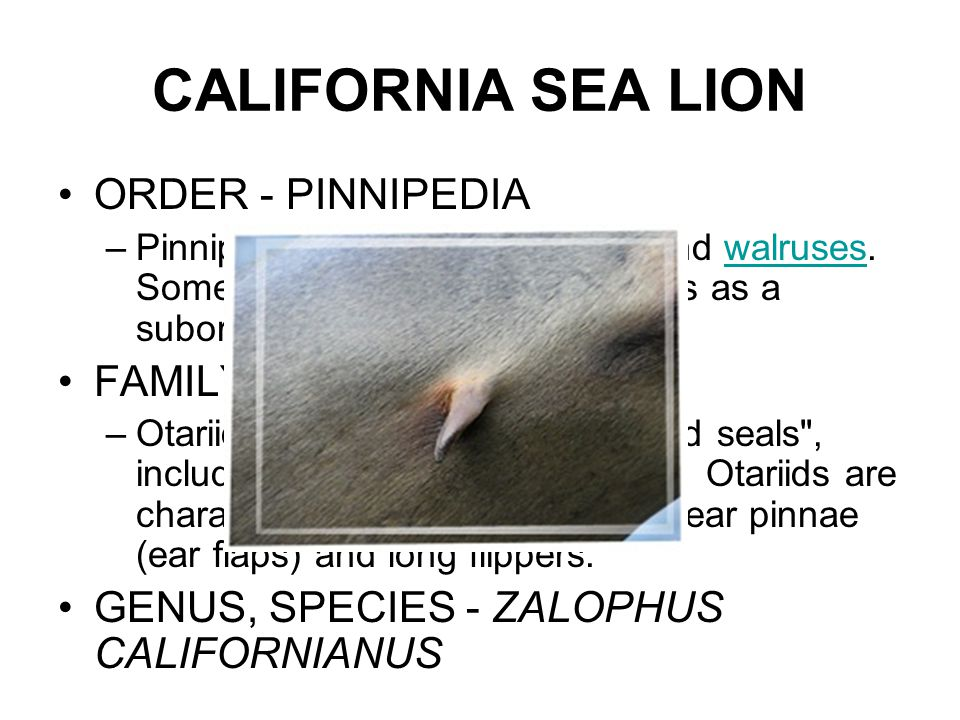 CALIFORNIA SEA LION ORDER - PINNIPEDIA –Pinnipeds are seals, sea lions, and walruses.