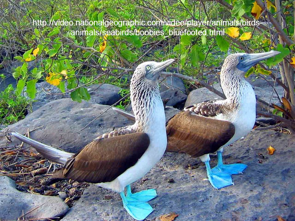 http://video.nationalgeographic.com/video/player/animals/birds- animals/seabirds/boobies_bluefooted.html