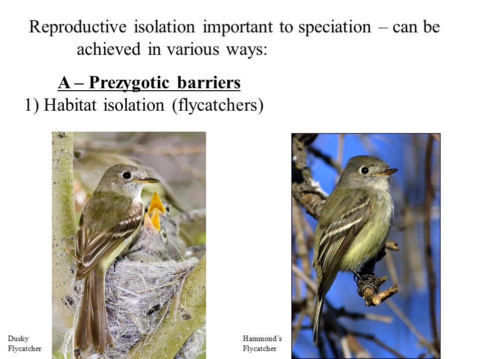 Reproductive isolation important to speciation – can be achieved in various ways: A – Prezygotic barriers 1) Habitat isolation (flycatchers) Dusky Flycatcher Hammond's Flycatcher