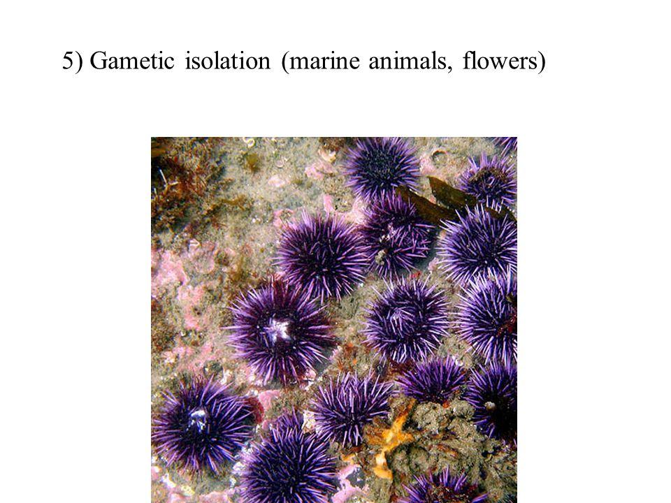 5) Gametic isolation (marine animals, flowers)