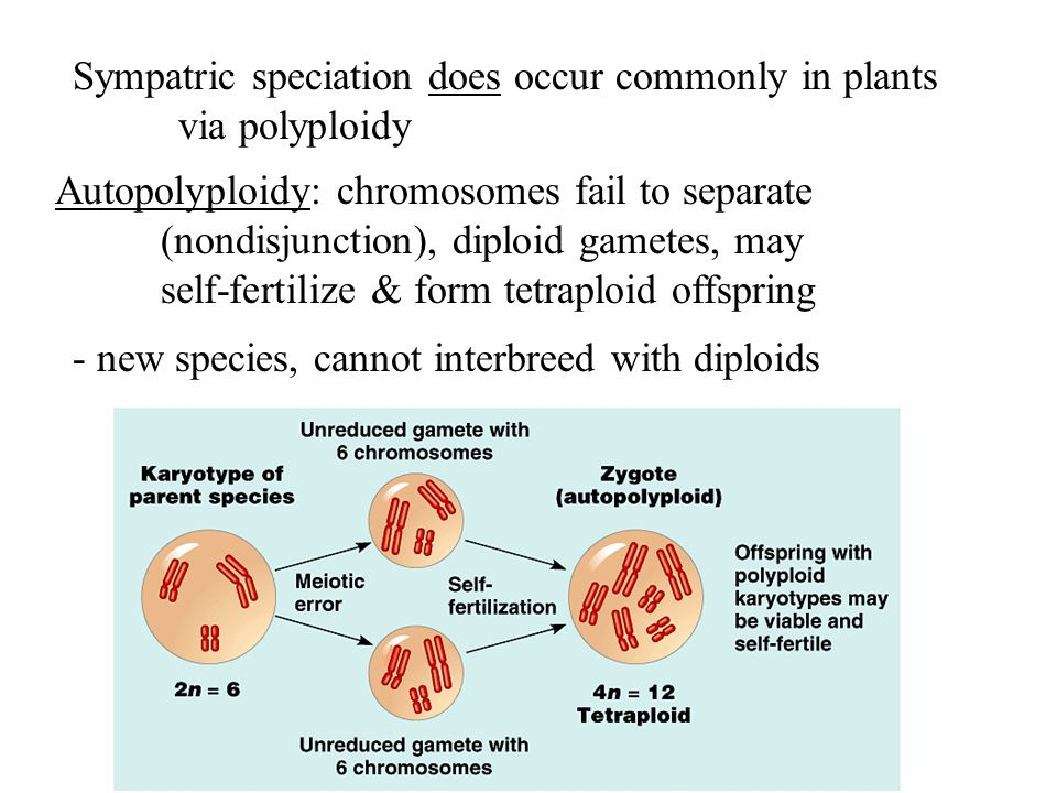 Sympatric speciation does occur commonly in plants via polyploidy Autopolyploidy: chromosomes fail to separate (nondisjunction), diploid gametes, may self-fertilize & form tetraploid offspring - new species, cannot interbreed with diploids
