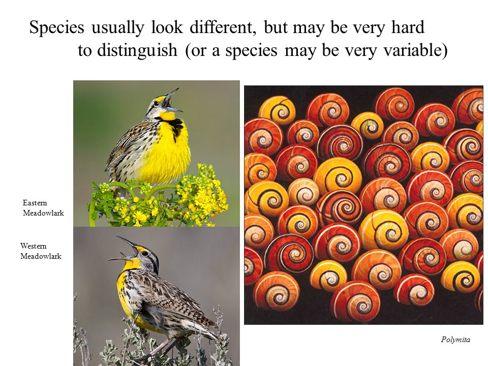 Species usually look different, but may be very hard to distinguish (or a species may be very variable) Eastern Meadowlark Western Meadowlark Polymita