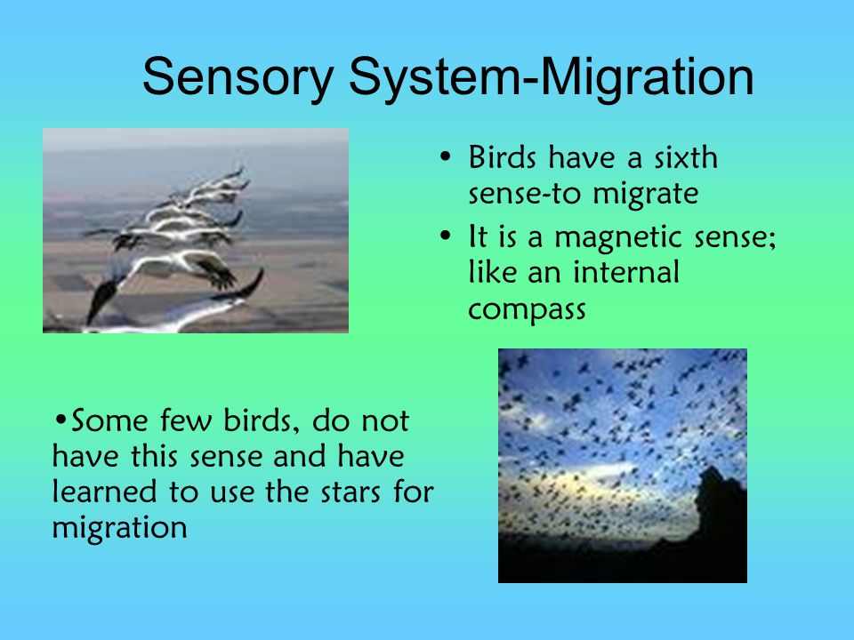 Sensory System-Migration Birds have a sixth sense-to migrate It is a magnetic sense; like an internal compass Some few birds, do not have this sense a