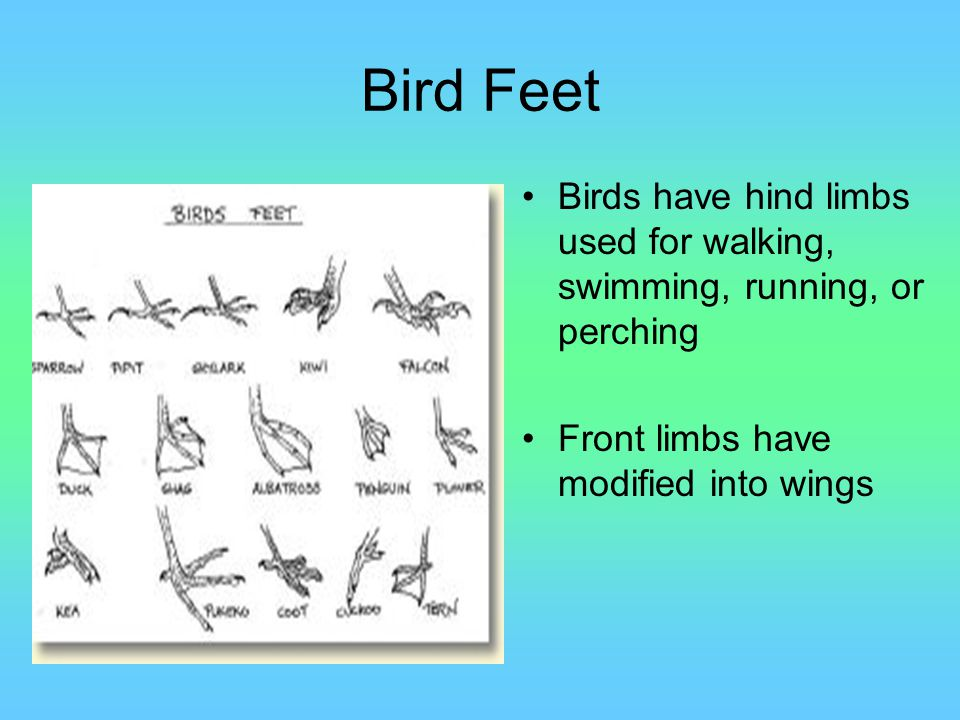 Bird Feet Birds have hind limbs used for walking, swimming, running, or perching Front limbs have modified into wings