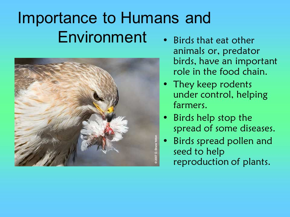 Importance to Humans and Environment Birds that eat other animals or, predator birds, have an important role in the food chain. They keep rodents unde