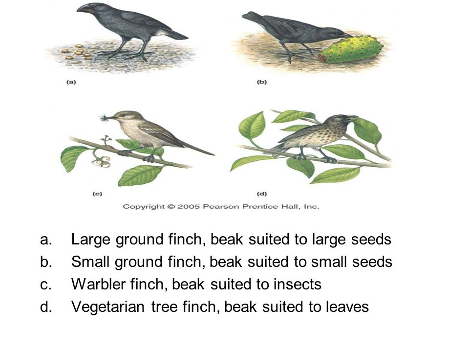a.Large ground finch, beak suited to large seeds b.Small ground finch, beak suited to small seeds c.Warbler finch, beak suited to insects d.Vegetarian