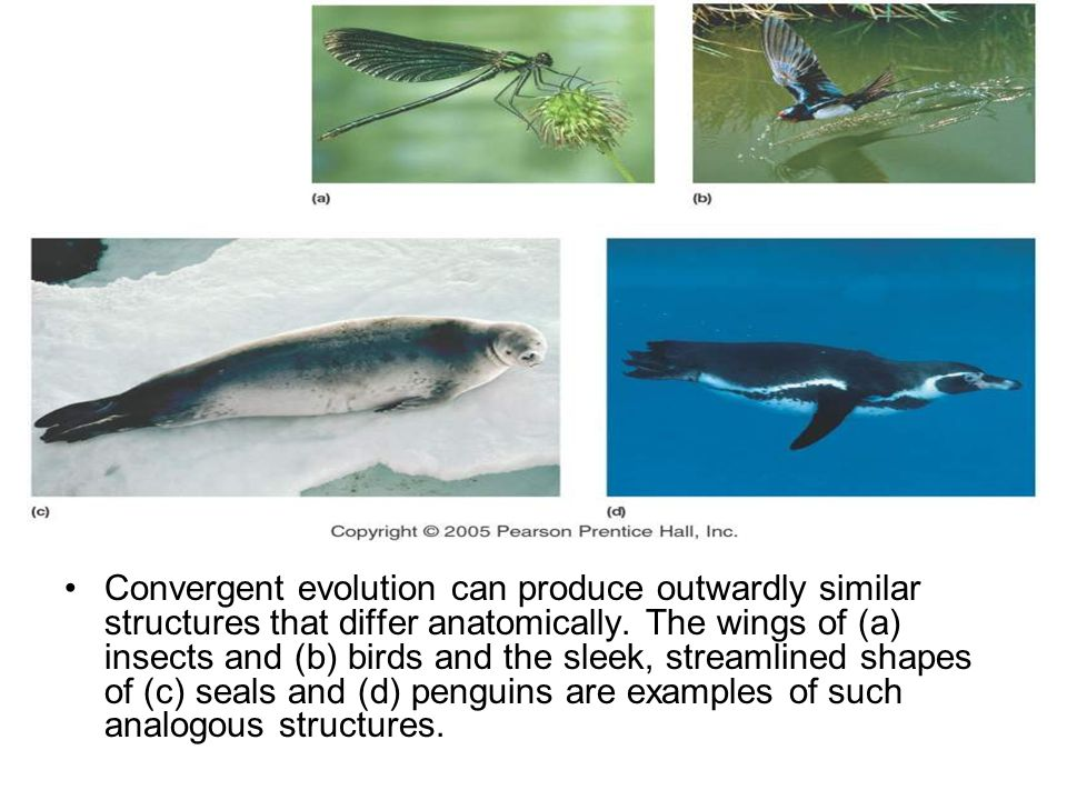 Convergent evolution can produce outwardly similar structures that differ anatomically. The wings of (a) insects and (b) birds and the sleek, streamli