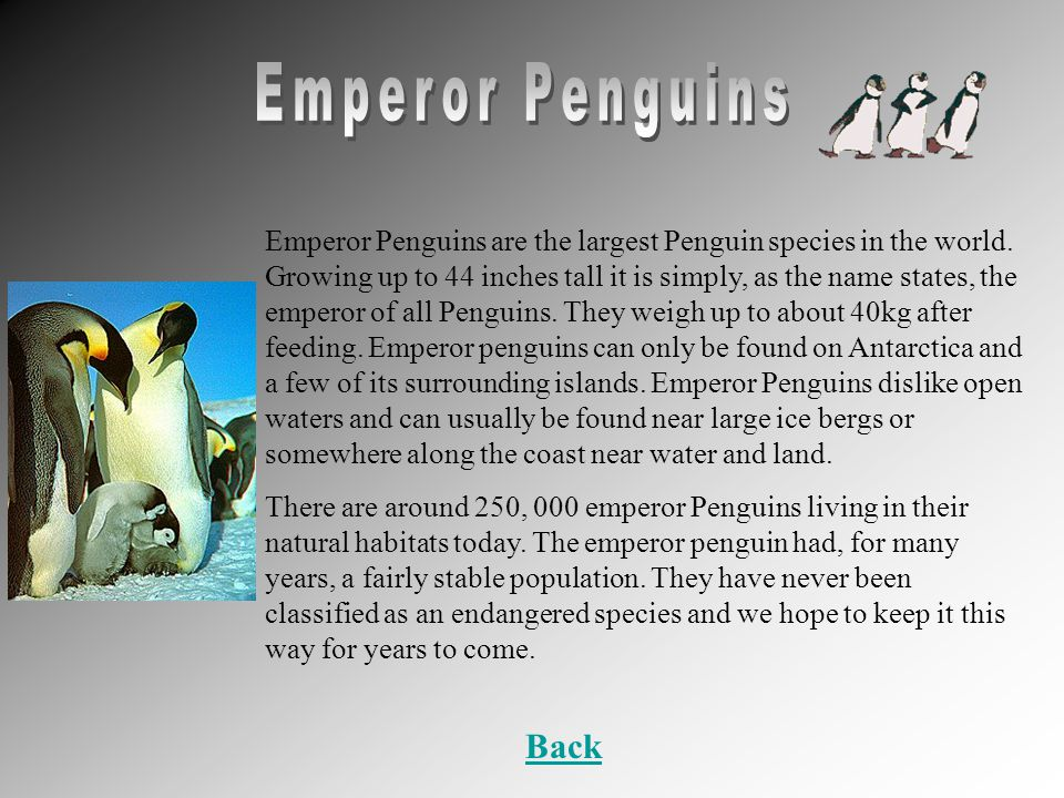 Emperor Penguins are the largest Penguin species in the world.
