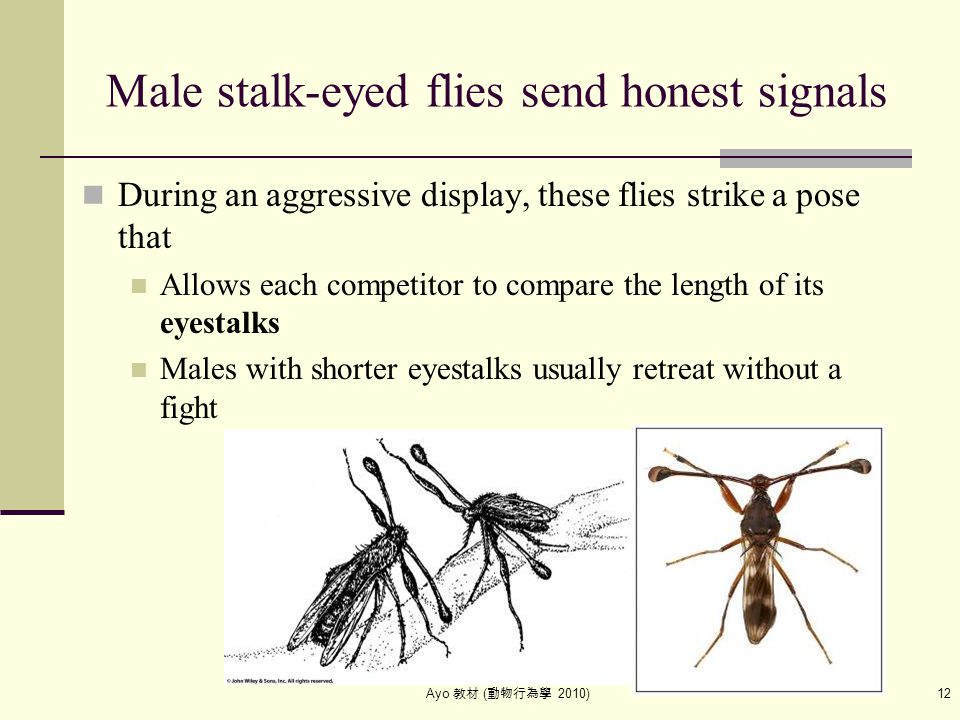 Ayo 教材 ( 動物行為學 2010) 12 Male stalk-eyed flies send honest signals During an aggressive display, these flies strike a pose that Allows each competitor
