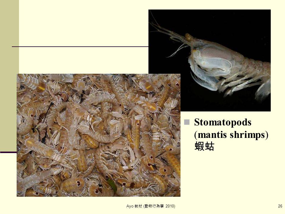 Ayo 教材 ( 動物行為學 2010) 26 Stomatopods (mantis shrimps) 蝦蛄