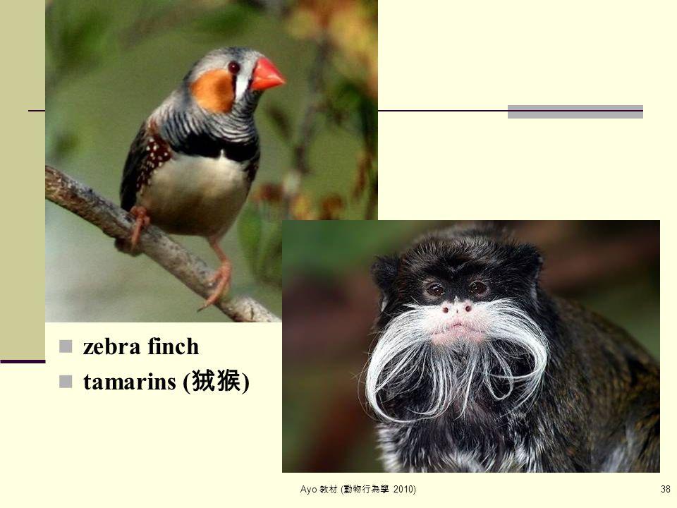 Ayo 教材 ( 動物行為學 2010) 38 zebra finch tamarins ( 狨猴 )