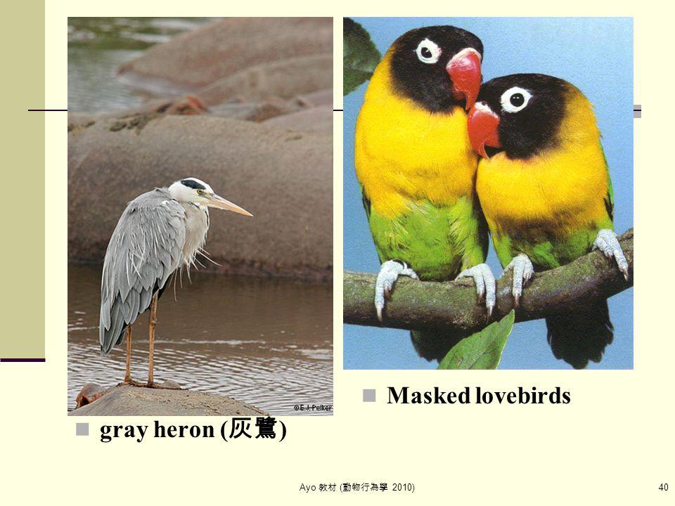 Ayo 教材 ( 動物行為學 2010) 40 gray heron ( 灰鷺 ) Masked lovebirds