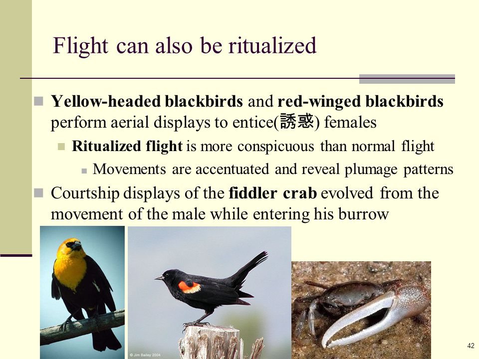 Ayo 教材 ( 動物行為學 2010) 42 Flight can also be ritualized Yellow-headed blackbirds and red-winged blackbirds perform aerial displays to entice( 誘惑 ) femal
