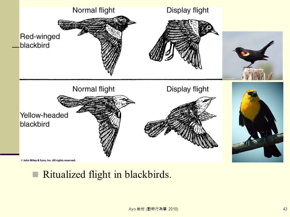 Ayo 教材 ( 動物行為學 2010) 43 Ritualized flight in blackbirds.