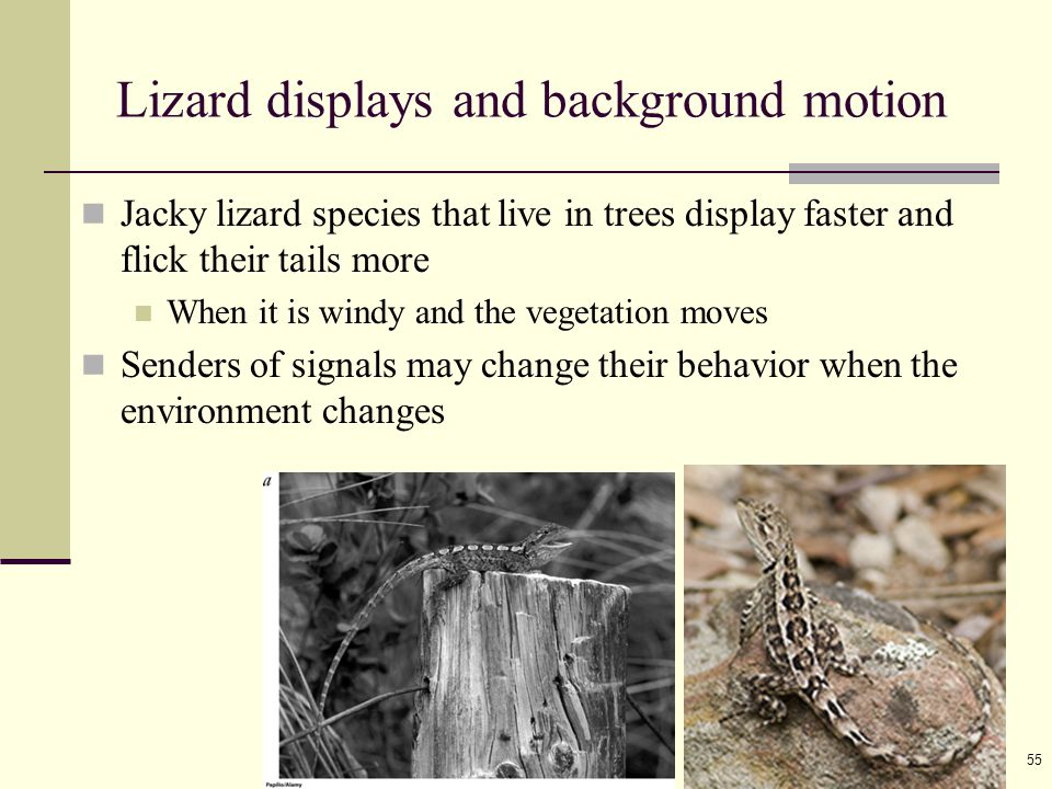 Ayo 教材 ( 動物行為學 2010) 55 Lizard displays and background motion Jacky lizard species that live in trees display faster and flick their tails more When i