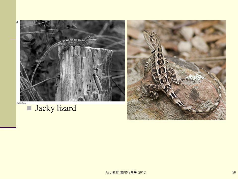 Ayo 教材 ( 動物行為學 2010) 56 Jacky lizard