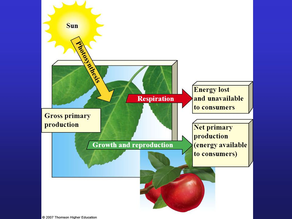 Photosynthesis Sun Net primary production (energy available to consumers) Growth and reproduction Respiration Energy lost and unavailable to consumers