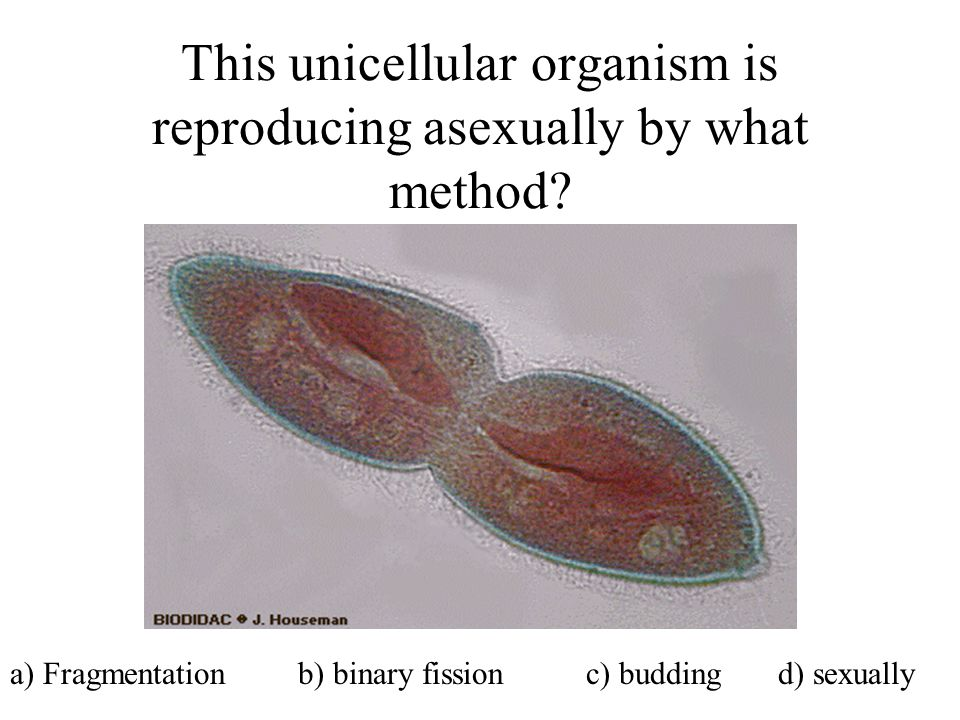 This unicellular organism is reproducing asexually by what method? a) Fragmentationb) binary fissionc) buddingd) sexually