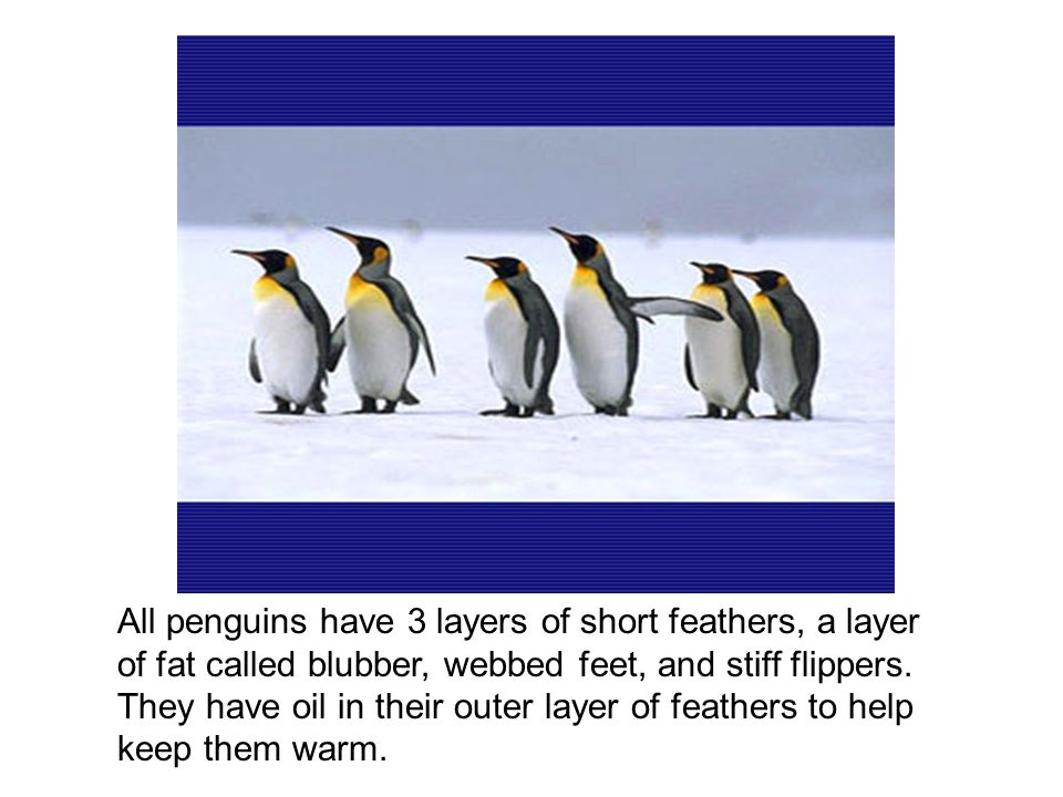 Penguins are birds that cannot fly.Their bones are heavy and their flippers are thin.