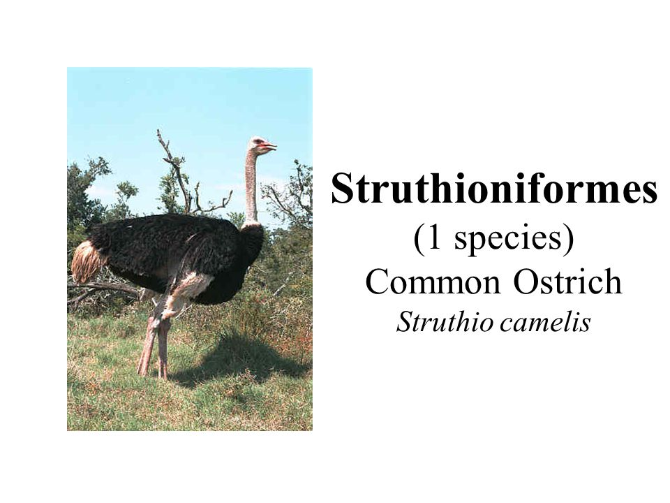 Struthioniformes (1 species) Common Ostrich Struthio camelis