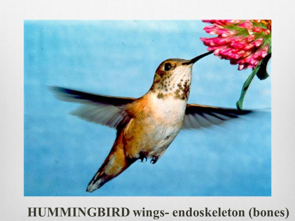 HUMMINGBIRD wings- endoskeleton (bones)