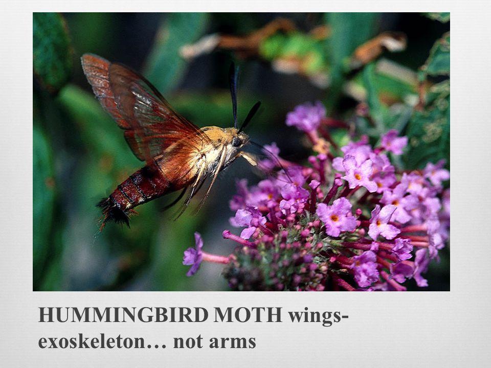 HUMMINGBIRD MOTH wings- exoskeleton… not arms