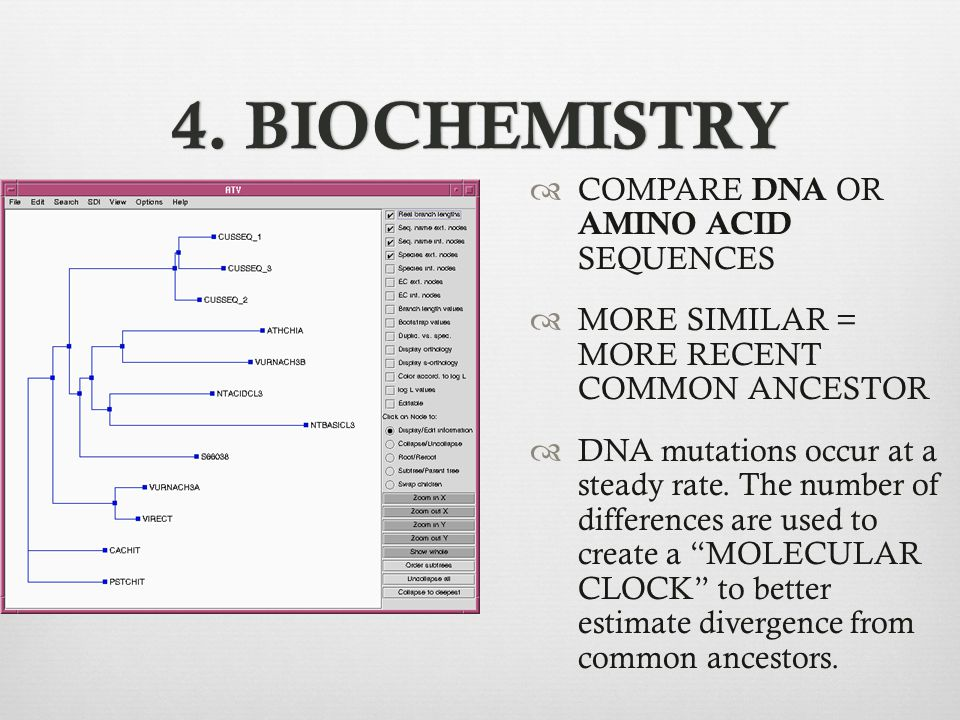 4. BIOCHEMISTRY4. BIOCHEMISTRY  COMPARE DNA OR AMINO ACID SEQUENCES  MORE SIMILAR = MORE RECENT COMMON ANCESTOR  DNA mutations occur at a steady ra