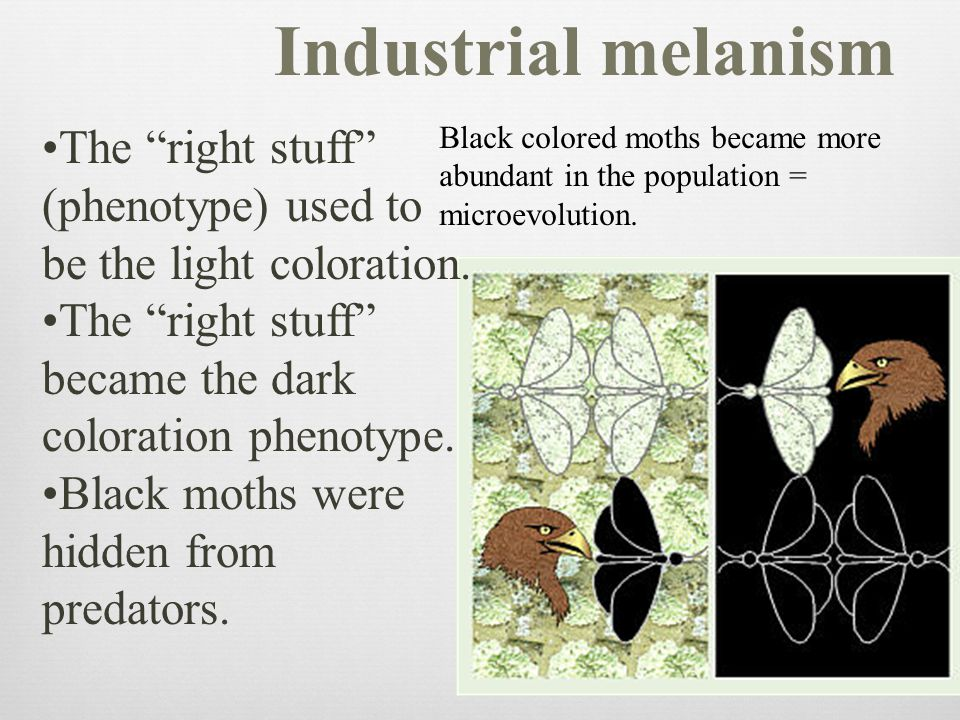 """The """"right stuff"""" (phenotype) used to be the light coloration. The """"right stuff"""" became the dark coloration phenotype. Black moths were hidden from pr"""