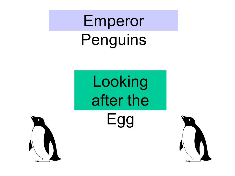 Emperor Penguins Looking after the Egg