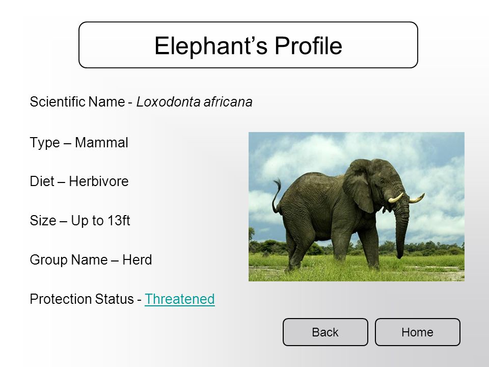 Africa is home to the… Home Elephant Did You Know? Elephants are hunted for their valuable ivory tusks. The largest land animals alive today Can live