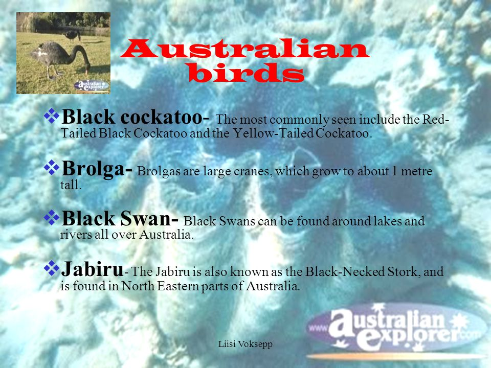 Liisi Voksepp Australian birds  Black cockatoo- The most commonly seen include the Red- Tailed Black Cockatoo and the Yellow-Tailed Cockatoo.